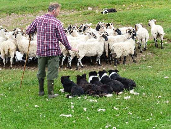 Working sheepdogs